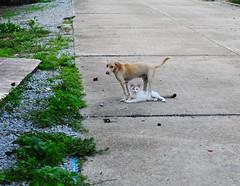 ,, 2C & Friend ,, (Jon in Thailand) Tags: 2c dog k9 puppy jungle cat friends nikon d300 nikkor 175528 road littledoglaughedstories