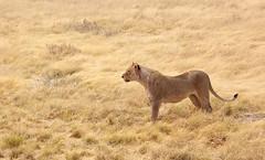 Lion at Etosha - Namibia (lotusblancphotography) Tags: africa afrique namibia namibie wildlife animals animaux safari lion