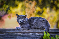 Cat on a Fence (Jeff Carnie Studios) Tags: cats cat graycat animals