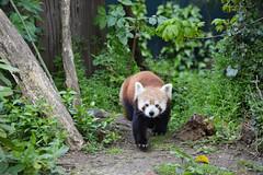 Red Panda (Ailurus fulgens) (Seventh Heaven Photography) Tags: red panda lesser bearcat catbear cat bear animal mammal ailurus fulgens ailurusfulgens nikond3200 herbivore