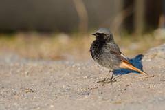 Black Redstart | svart rödstjärt | Phoenicurus ochruros (Daniel.Pettersson) Tags: birds bird fåglar sweden phoenicurusochruros blackredstart svartrödstjärt