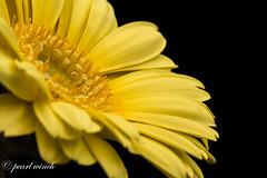 Yellow Gerbera (pearl.winch) Tags: 21stapril2017 gardern macrolens 07986 gerbera yellow