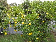 25Apr17 Lemons. We have them.  It's a grey dreary day but at least there's some colour in my garden. #photoaday #2017pad #lemontree #lemons
