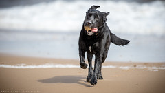 Cold, wet, windswept but lovin' it! (Marcus Legg) Tags: marcuslegg max labrador lab black bokeh beach retriever running sea ocean tennisball ball sand shiny surf waves pets play wet coast 1dx outdoors water seaside