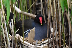 Moorhen on the nest (ChrisPy63) Tags: sigma nikond7200 nikon outdoors nature rspbreserves rspbleightonmoss england lancashire spring uk britishbirds moorhen water birds bird nest