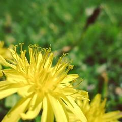 a dandelion #dandelion #flower #spring (boff_hiroshi) Tags: instagramapp square squareformat iphoneography uploaded:by=instagram skyline
