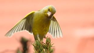 Greenfinch ♂ (Carduelis chloris)