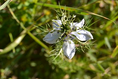Nigella gallica (esta_ahi) Tags: barcelona blue espaa flores spain flora flor ranunculaceae nigella peneds silvestres castelletilagornal  nigellagallica