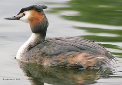 Great Crested Grebe (Colin__Murray) Tags: park uk england lake nature water pool birds liverpool spring northwest wildlife great ducks crested grebe waterbirds merseyside wildfowl springwatch