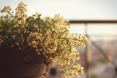 (motel selenik) Tags: flowers sunset summer sky sun sunlight nature floral leaves spring little bokeh balcony pot