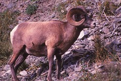 IMG_0076 (Rock Rabbit Photo) Tags: scans sheep horns bighorn rams slides