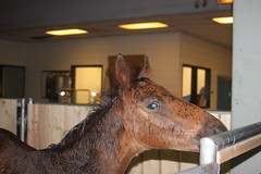 spotted moose (thinktank8326) Tags: wet rain bay mare chicagoland filly foal standardbred basicbrown downtownbabybrown