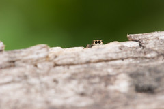163 (CAKE84) Tags: jumpingspider