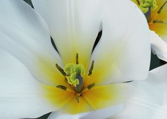hidden bug (creena20) Tags: flowers white plant yellow foliage stamen pollen