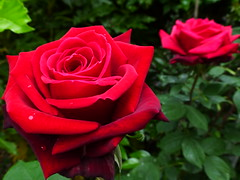 Red roses in my garden (ArtGordon1) Tags: plant rose petals redrose horticulture
