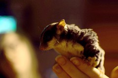 sugar glider (Abstractgraces) Tags: pet girl hand grain adorable sugar exotic nails glider sugarglider highiso