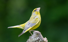 Greenfinch - singing and displaying