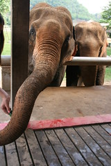 park travel elephant dogs nature animals thailand wildlife chiangmai elephants elephantnaturepark