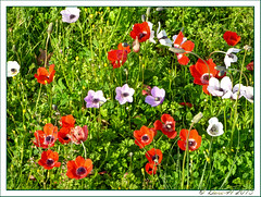 Wildflowers (Dora-A) Tags: light flower color green nature beautiful photography israel daylight spring colorful mediterranean day view bright country north picture middleeast galilee scene foliage holyland hdr mideast blooming flourishing   doraa northernkingdomofisrael
