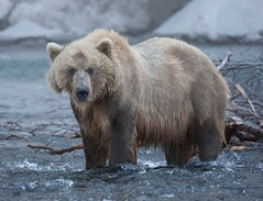 Brown bear at Lake Kurilskoye, Kamchatka. (richard.mcmanus.) Tags: bear russia gettyimages kamchatka russianbears kamchatkabears