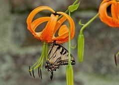 LIlies Staggered (brev99) Tags: orange blur stone butterfly garden lily bokeh monarch crossestate topazdetail tamron70300vc