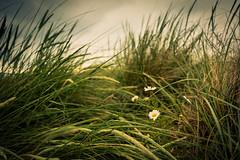 Traigh Beach grass, Arisaig (Roksoff) Tags: horse skye bay scotland highlands nikon long exposure pipe scottish an western 24mm loch isles rhum arisaig camas mallaig eigg lochan d600 daraich