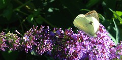 """large white butterfly... • <a style=""""font-size:0.8em;"""" href=""""http://www.flickr.com/photos/57024565@N00/9461306198/"""" target=""""_blank"""">View on Flickr</a>"""