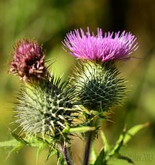 Cotton Thistle (Stephen Whittaker) Tags: flower scotland nikon thistle d5100 whitto27
