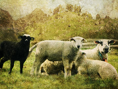 family (silviaON) Tags: norway sheep august ie textured blacksheep 2013 contemporaryartsociety memoriesbook bsactions magicunicornverybest magicunicornmasterpiece crisbuscaglialenz isabellafranceaction