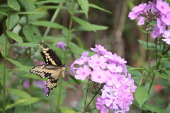Swallowtail butterfly busy on the flowers (outdoorpict) Tags: flower green beautiful leaves yellow butterfly purple busy swallowtail