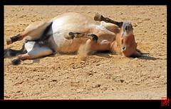 Le cheval de Przewalski (mamnic47 - Over 6 millions views.Thks!) Tags: paris cheval animaux jardindesplantes paris5e jument img2048 chevaldeprzewalski
