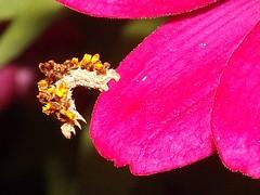 Flower Inchworm (rstickney37) Tags: geometridae inchworm synchlora flowercaterpillar flowerinchworm