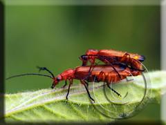 Rhagonycha fulva (Fotografa de Naturaleza de Paco Moreno Gmez) Tags: parque paisajes naturaleza fauna flora natural huelva sierra escarabajo picos insecto fotografa coleoptera aracena coleoptero aroche