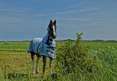 Fine Animal (Hindrik S) Tags: horse green grass waddenzee 35mm island iso100 sony 1750 1800 ameland f56 tamron pferd paard a57 gers waddensea hynder ameln tamron1750 sonyalpha waad tamronspaf1750mmf28xrdiiildasphericalif sonyphotographing slta57 57