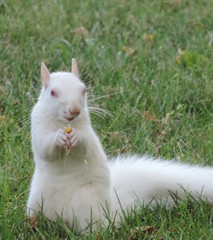 The Albino Squirrel holding onto an acorn (rabidscottsman) Tags: white cute minnesota animal standing furry nikon squirrel eating wildlife adorable acorn albino albinosquirrel whitesquirrel coolpix rare verticalformat oaknut p520 scotthendersonphotography nikonp520