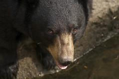 giving me the eye (ucumari photography) Tags: bear black zoo oso nc north american carolina april ursusamericanus 2013 specanimal ucumariphotography dsc2041