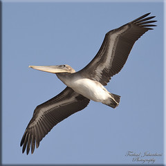 Pelican - Magical Wingspan (FarhadFarhad .(Farhad Jahanbani)) Tags: nature fly flying wings pelican magical wingspan perfection