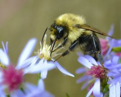 October Bee (NikonGirl1969) Tags: flowers autumn macro fall nature insect october availablelight newengland newhampshire naturallight bee bumblebee pollen northconway pollinating blackandyellow handheldshot nikonkitlens nikkor1855mmf3556gvr nikond3100