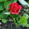 Rose (Gartenzauber) Tags: floralfantasy flowersarebeautiful excellentsflowers mimamorflowers flickrflorescloseupmacros faunayfloradelmundo vpu1 rosesforeveryone vpu2 vpu3 vpu4 vpu5 vpu6