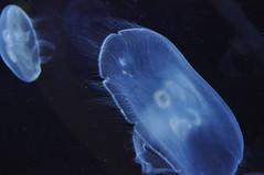 Mduse  (2) (hube.marc) Tags: jellyfish medusa manet t qualle kwal marmoka meduus  meduza    denizanas  uburubur   medza   marglyttur medzk medusozoa stormaneter  slefrenfr smugairlerin hvalspggjur