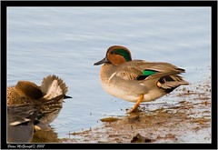 "Green Winged Teal (B.McGeough) • <a style=""font-size:0.8em;"" href=""http://www.flickr.com/photos/30837261@N07/10723818403/"" target=""_blank"">View on Flickr</a>"