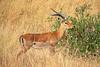 Gazelle (eMe de marta) Tags: africa summer animal animals safari verano gazelle kenia masaimara gacela