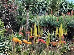 P3263666ac Funchal Botanical Gardens Luxuriance (pfjc&pfjc2) Tags: portugal botanicalgardens atlanticocean madeiraisland funchalcapital exoticluxuriance