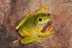 Magnificent Tree Frog (Litoria splendida) (Gus McNab) Tags: