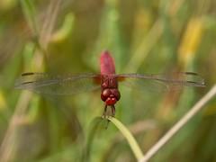 Feuerlibelle (Crocothemis erythraea) 3894 (fotoflick65) Tags: insect dragonfly 14 tc pro 300 libelle insekt f8 teleconverter menorca albufera leopold odonata salbufera kenko erythraea frh iso250 crocothemis 300mmf4d telekonverter feuerlibelle dgx iso200400 d7100 segellibelle st500 kepplinger ym10 y2013 fl420 fl400450 st400800 fotoflick65 ni300 6mpp