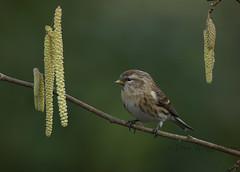 Lesser Redpoll. (Dave @ Catchlight Images) Tags: winter bird nature birds canon wildlife 500mm lesser lense redpoll
