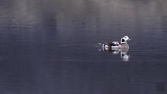 DSC_2287dt.jpg (雙關) Tags: 雌鳥 長尾鴨