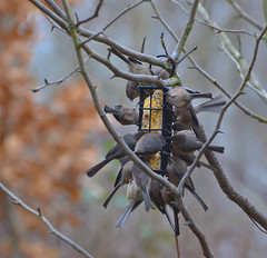 Happy time's here.Explored (Omygodtom) Tags: winter wild bird nature nikon dof bokeh kinglet oaksbottom migrate dk7 d7000 nikon70300mmvrlens