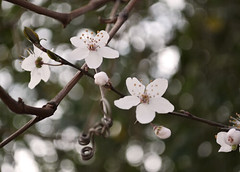 february mornings (sharyrong) Tags: flowers bokeh blossoms plumblossoms