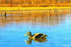 frozen duck (Kansas Poetry (Patrick)) Tags: frozen duck decoy clintonlake patrickemerson patricknancyforever